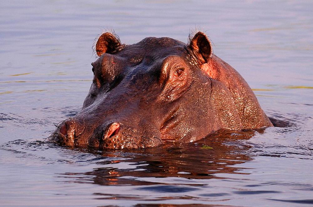 Hippopotamus, river horse, animal, water, hippo, Hippopotamus, river horse, animal, water, hippo, amphibius, Kwando River, Susuwe Island Lodge, Bwabwata, National Park, Caprivi, Namibia, Africa, Travel, Nature. Hippopotamus, river horse, animal, water, hippo, Hippopotamus, river horse, animal, water, hippo, amphibius, Kwando River, Susuwe Island Lodge, Bwabwata, National Park, Caprivi, Namibia, Africa, Travel, Nature