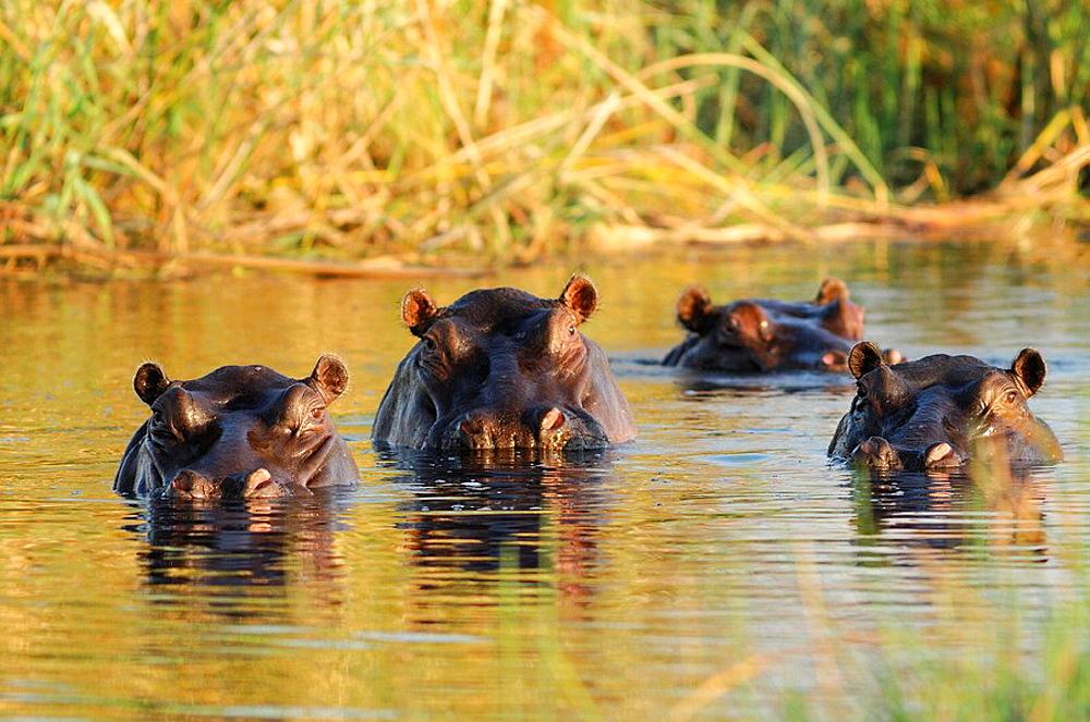 Hippopotamus, river horse, animal, water, hippo, Hippopotamus, river horse, animal, water, hippo, amphibius, Kwando River, Lianshulu Lodge, Mudumu, National Park, Caprivi, Namibia, Africa, Travel, Nature. Hippopotamus, river horse, animal, water, hippo, Hippopotamus, river horse, animal, water, hippo, amphibius, Kwando River, Lianshulu Lodge, Mudumu, National Park, Caprivi, Namibia, Africa, Travel, Nature