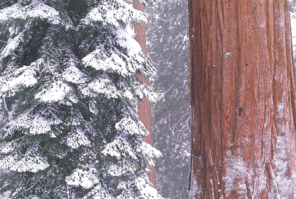 Sierra Redwood in winter, Sequoia National Park, California, USA