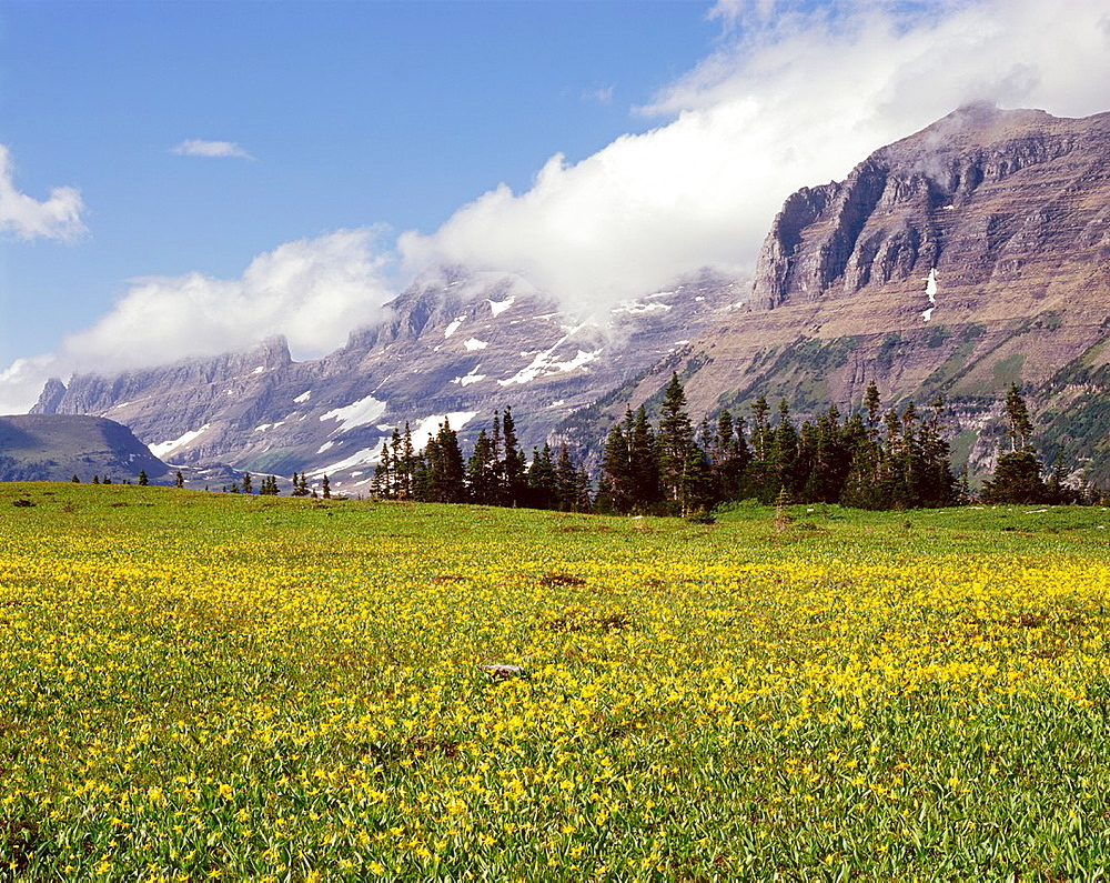 Early summer with blooming glacier lilies Erythronium grandiflorum at Logan Pass and peaks of the Garden Wall, Glacier National Park, Montana, USA