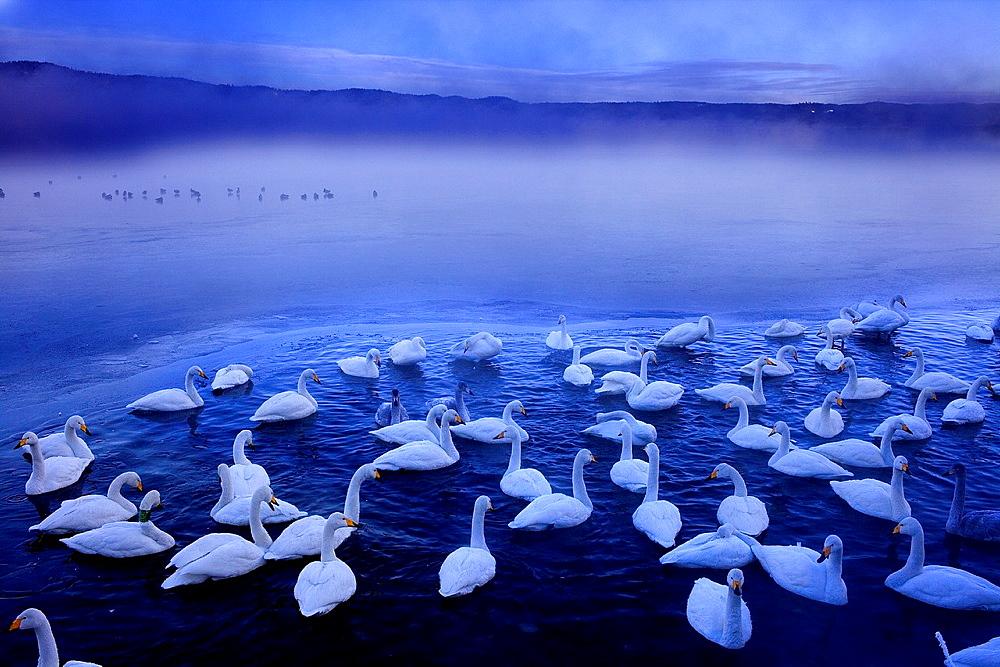 Whopper Swans Cygnus cygnus in Lake Kussharo, Akan National Park, Hokkaido, Japan