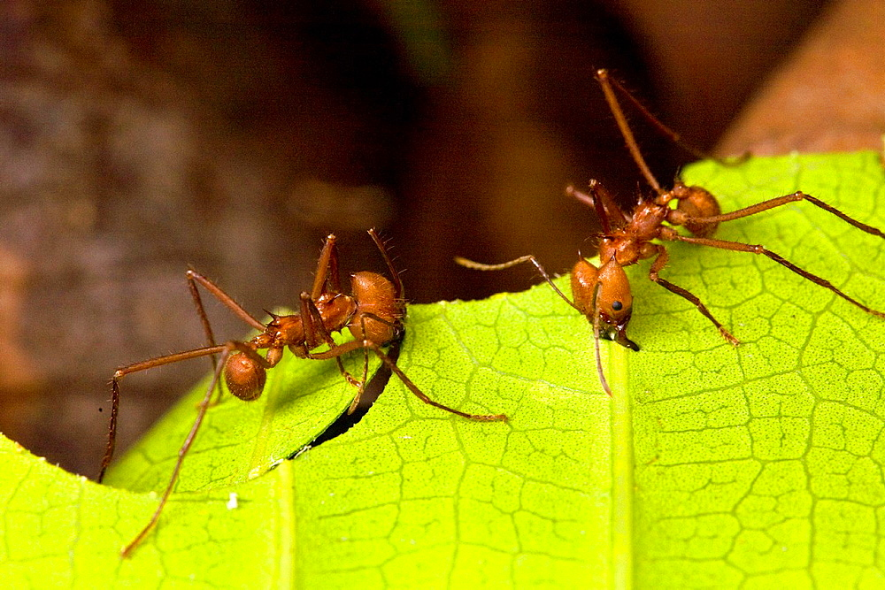 Leaf-cutter ants Atta cephalotes cutting leaf fragments in the Osa Peninsula, Costa Rica