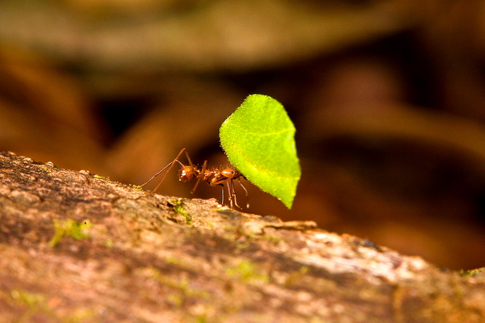 Leaf-cutter ant Atta cephalotes carrying a leaf to it's nest in the Osa Peninsula, Costa Rica - 817-328838
