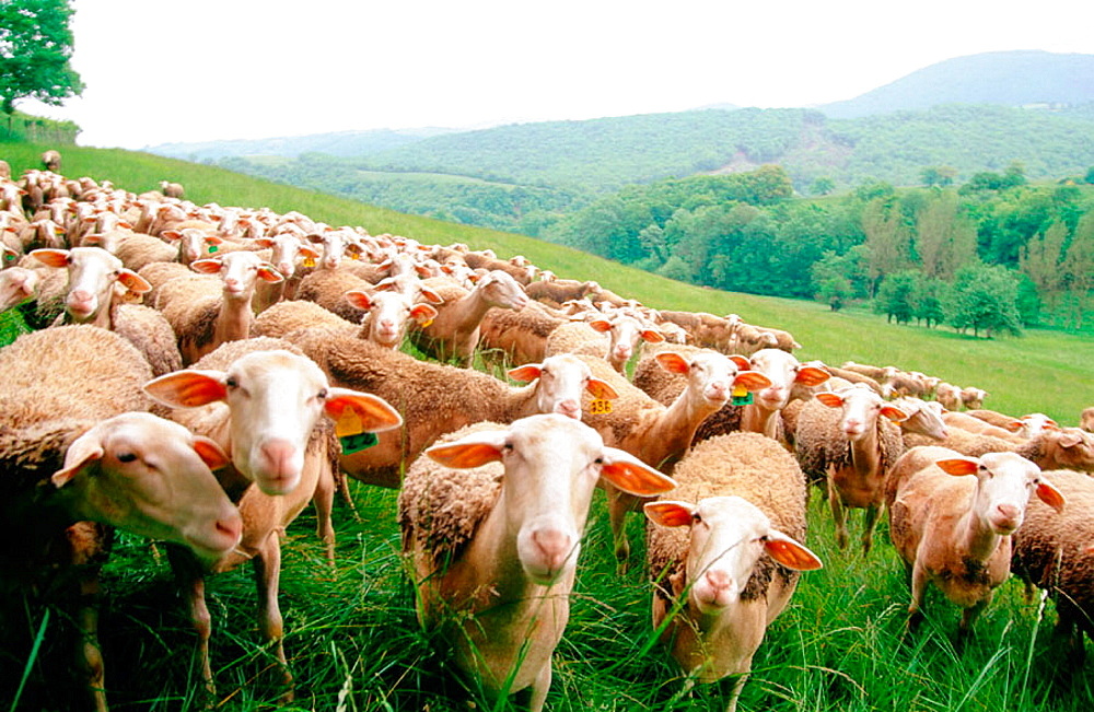 Herd of Lacaune sheeps, Roquefort area, Aveyron, France