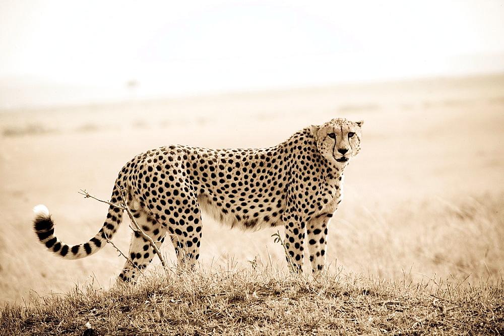 Cheetah standing in the Masai Mara - 817-332379