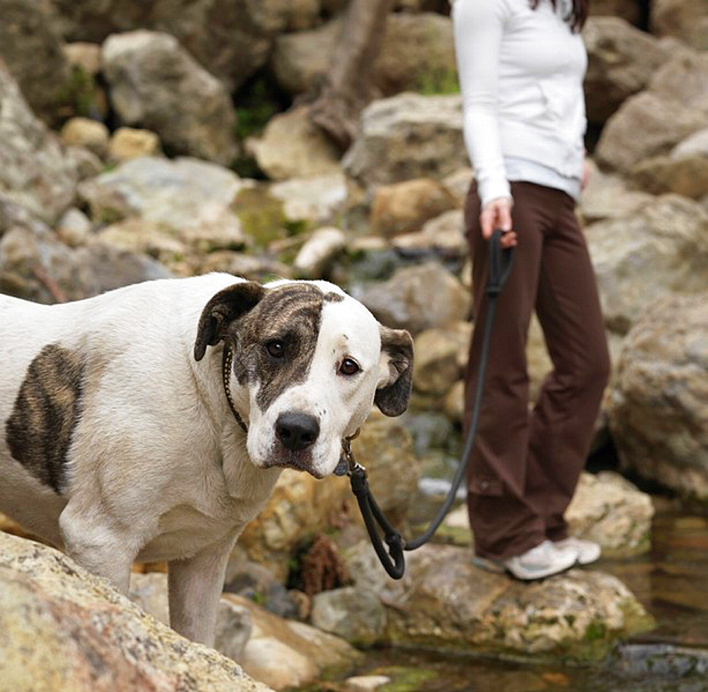 Dog looking at camera, held on leash, Mixed breed dog Labrador and American Pit Bull Terrier