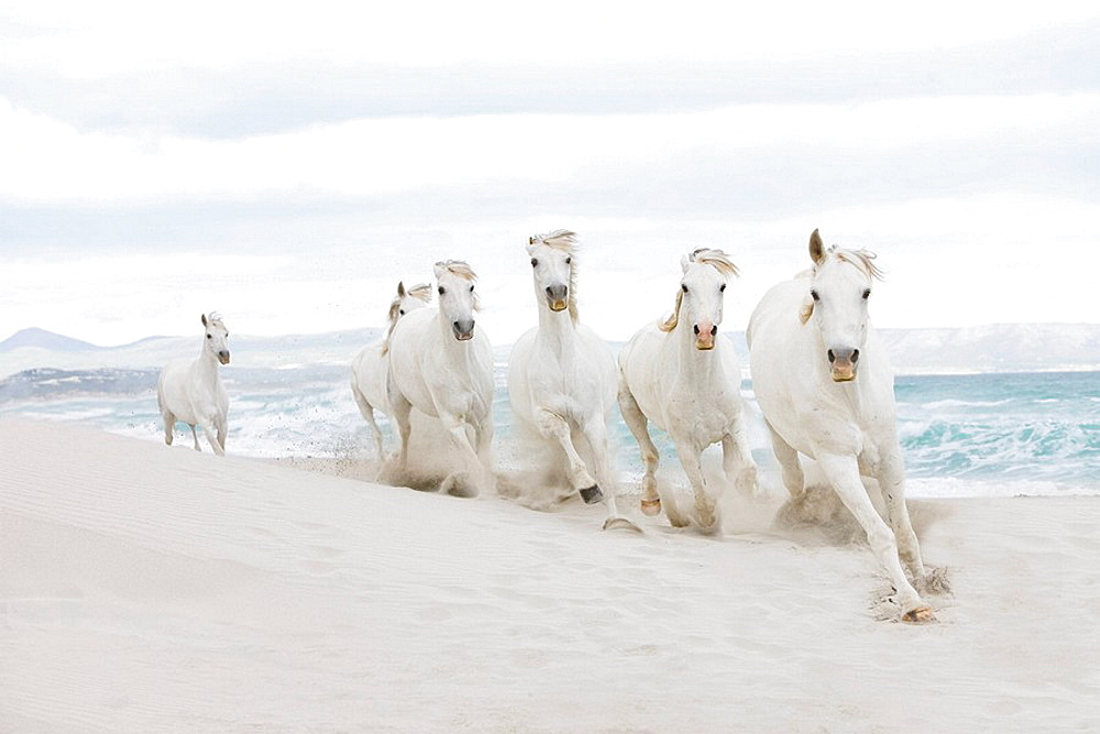 Horses on the beach, White horses running on beach