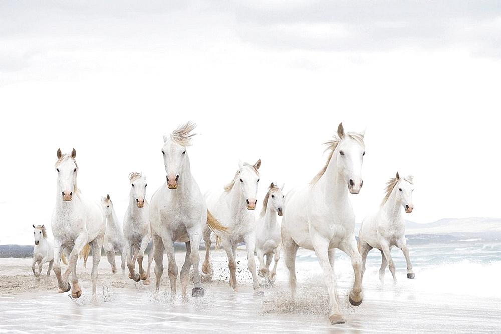White horses on the beach, White horses, running, beach, sea, surf