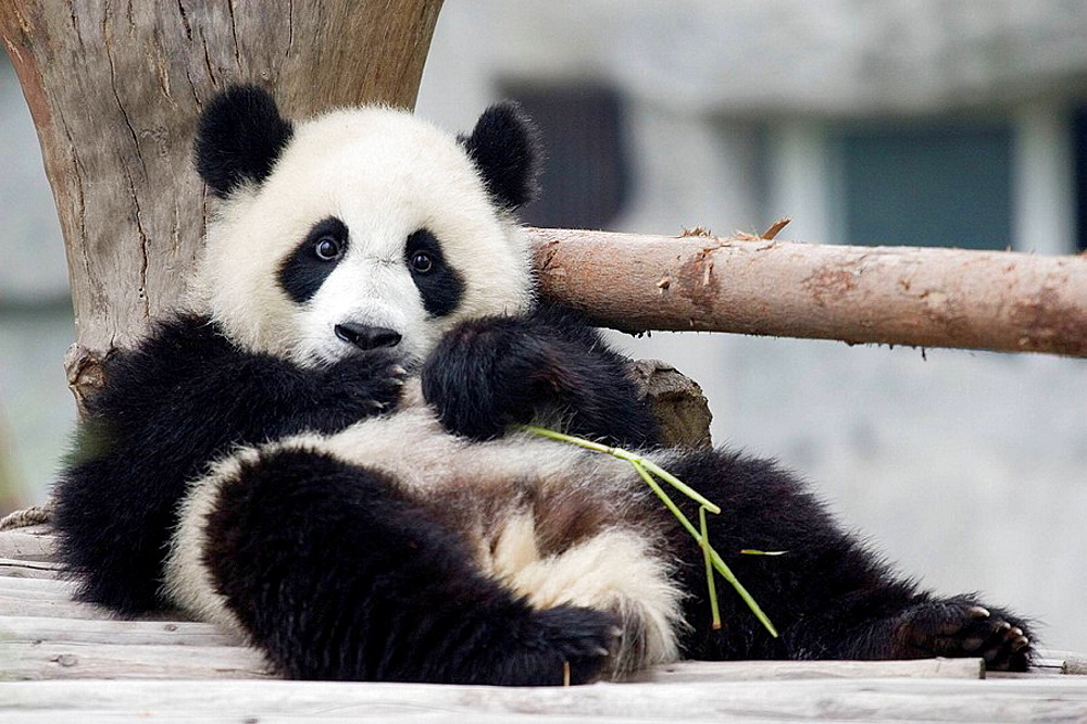 Panda in the Wildlife Recovery Center of Chengdu, Sichuan, China - 817-34378