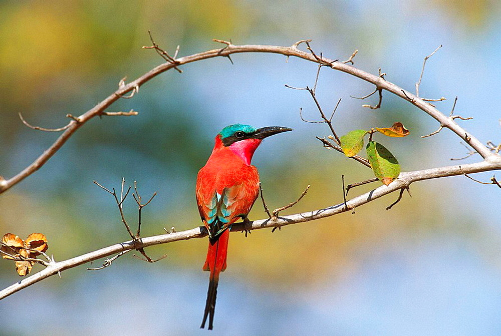Carmine Bee-eater (Merops nubicoides), South Luangwa National Park, Zambia