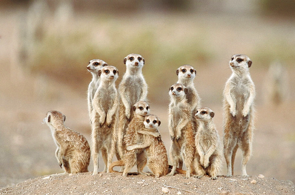 Meerkat or suricate (Suricata suricatta) family with young on the lookout at the edge of their burrow, Kgalagadi Desert, Southeast Namibia
