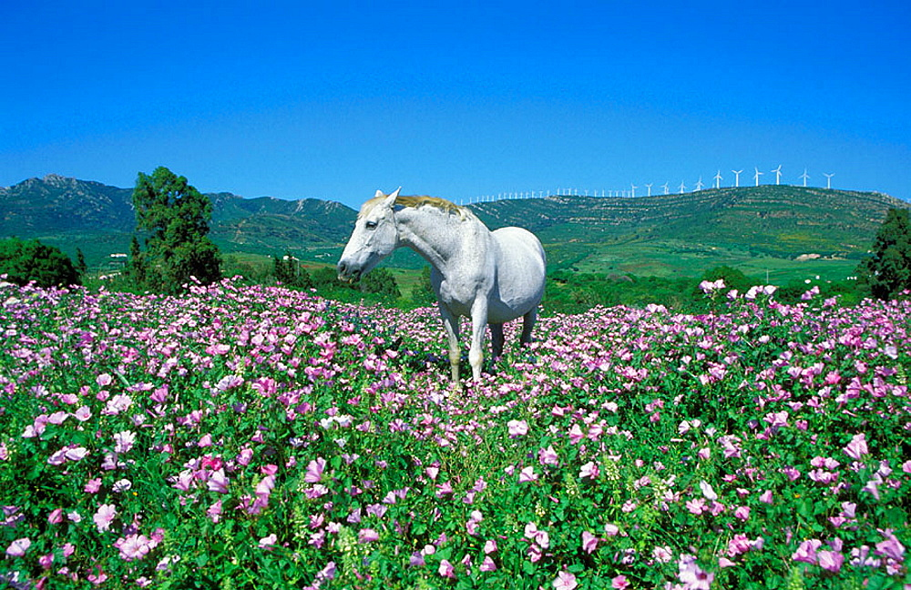 Mare, feeding in a flowery spring meadow near Tarifa; in the background on the ridge a wind farm (characteristic of this area), Province of Cadiz, Andalucia, Spain.