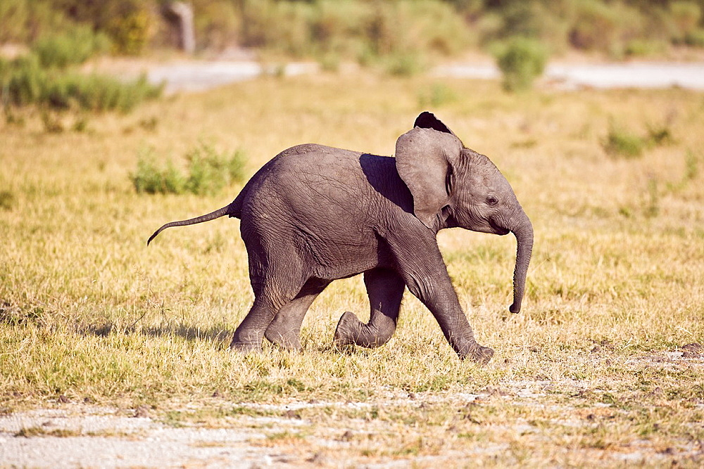 A baby elephant (Loxodonta africana) making its way through the Okavango Delta, Botswana, Africa