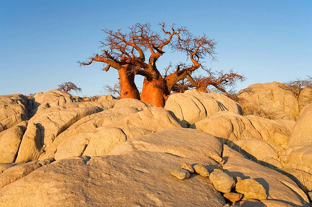 Baobab (Adansonia digitata),  In the early morning at the isolated Kubu Island, a mysterious rock island at the western edge of Sowa Pan, a salt pan which is part of the vast Makgadikgadi Pans, Botswana.