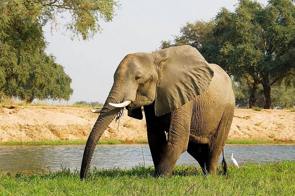 African Elephant (Loxodonta africana) and Cattle Egret (Bubulcus ibis), Lower Zambezi National Park, Zambia / Mana Pools National Park, Zimbabwe