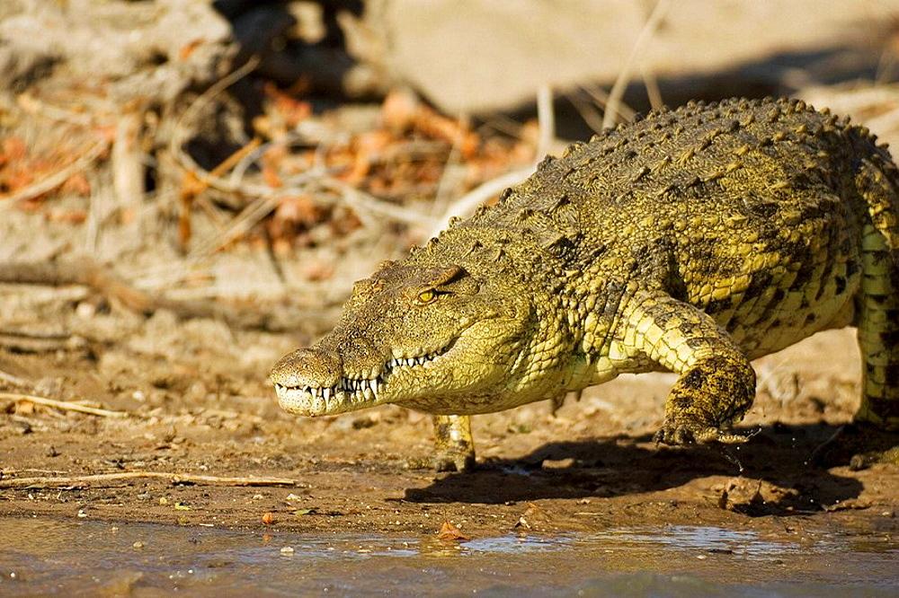Nile Crocodile (Crocodylus niloticus), Lufupa River, Kafue National Park, Zambia.
