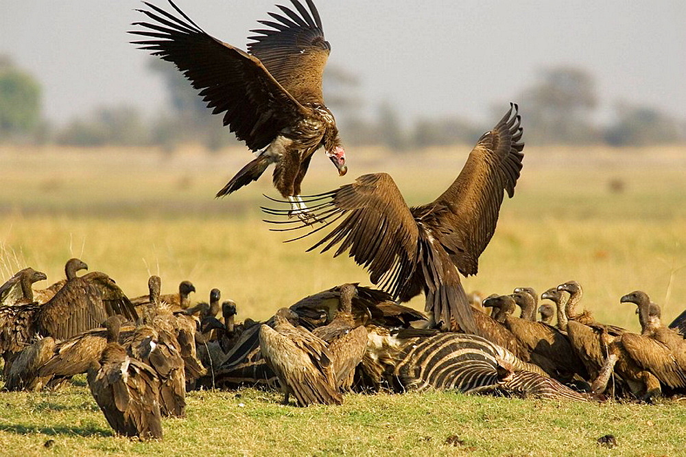 Lappet-faced Vulture (Torgos tracheliotus), Quarrel between two Lappet-faced Vultures at the carcass of a Burchell's Zebra (Equus burchelli) and the present White-backed Vultures (Gyps africanus), Chobe National Park, Botswana.