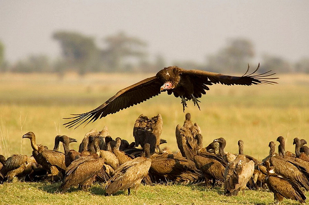 Lappet-faced Vulture (Torgos tracheliotus), Arriving at the carcass of a Burchell's Zebra (Equus burchelli) and the already present White-backed Vultures (Gyps africanus), Chobe National Park, Botswana.