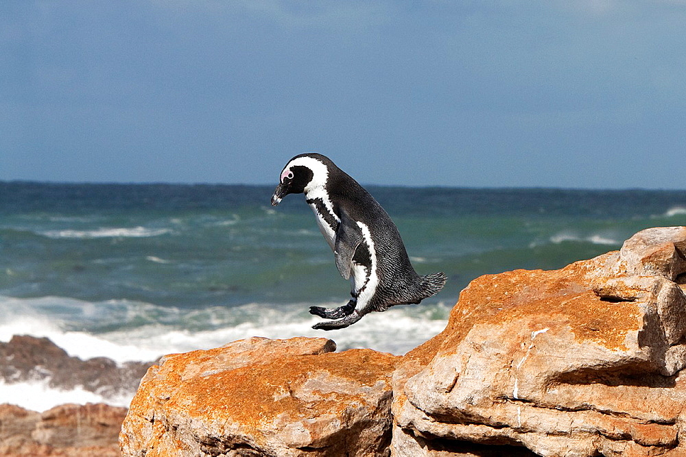 Jackass Penguin or African Penguin, spheniscus demersus, Adult Jumping from Rock, Betty's Bay in South Africa