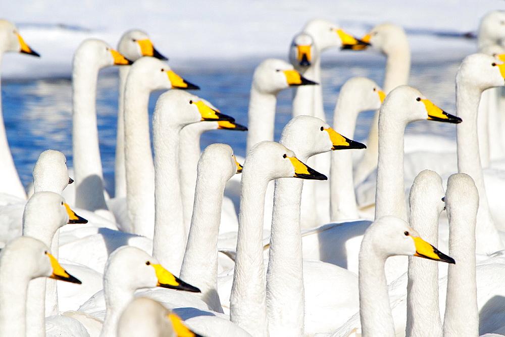 Whooper Swans, Winter, Lake Kushiro, Hokkaido, Japan