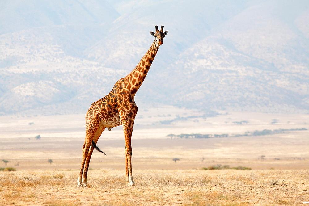 Lone Giraffe, Serengeti National Park, Tanzania - 817-361145