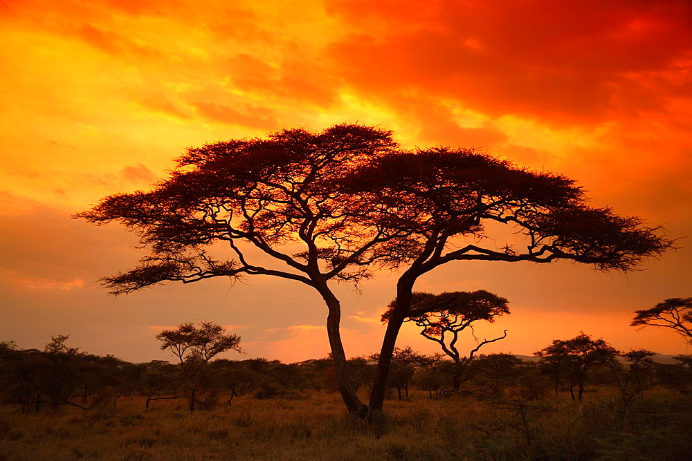 Acacia Tortilis tree in the Serengeti National Park, Tanzania
