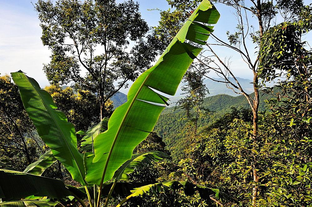 Rainforest and banana tree, Bach Ma National Park, Vietnam