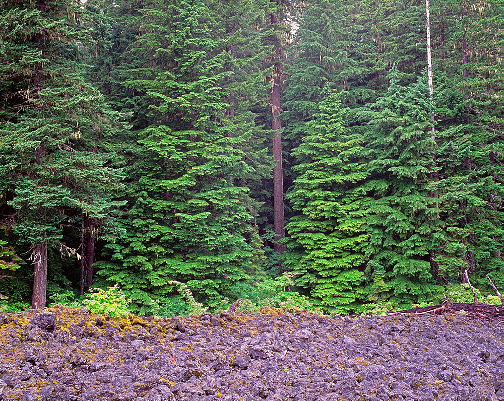 Douglas fir and western hemlock trees grow alongside margin of old lava flow, Willamette National Forest, Oregon, USA