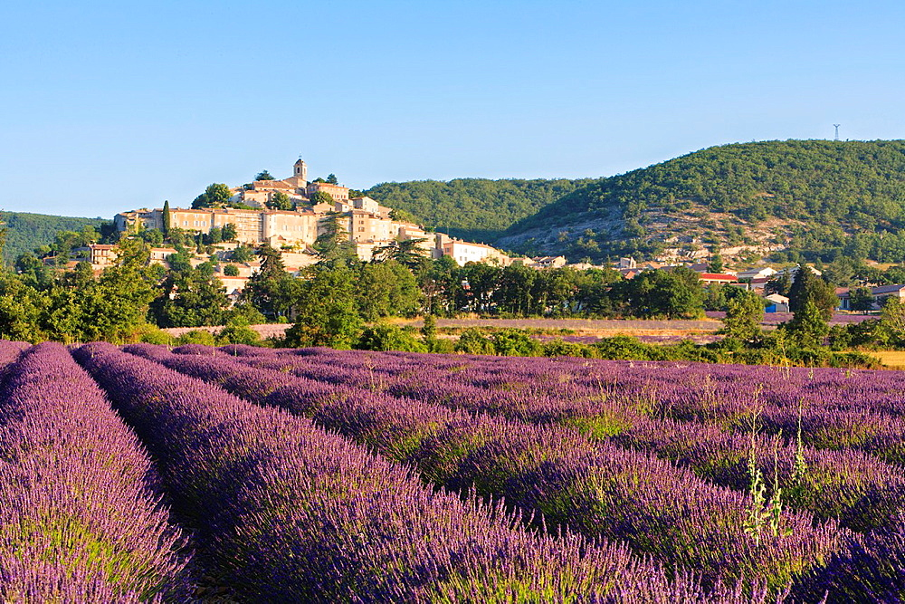Lavender field with the town of Banon in the background, Provence, France, Europe