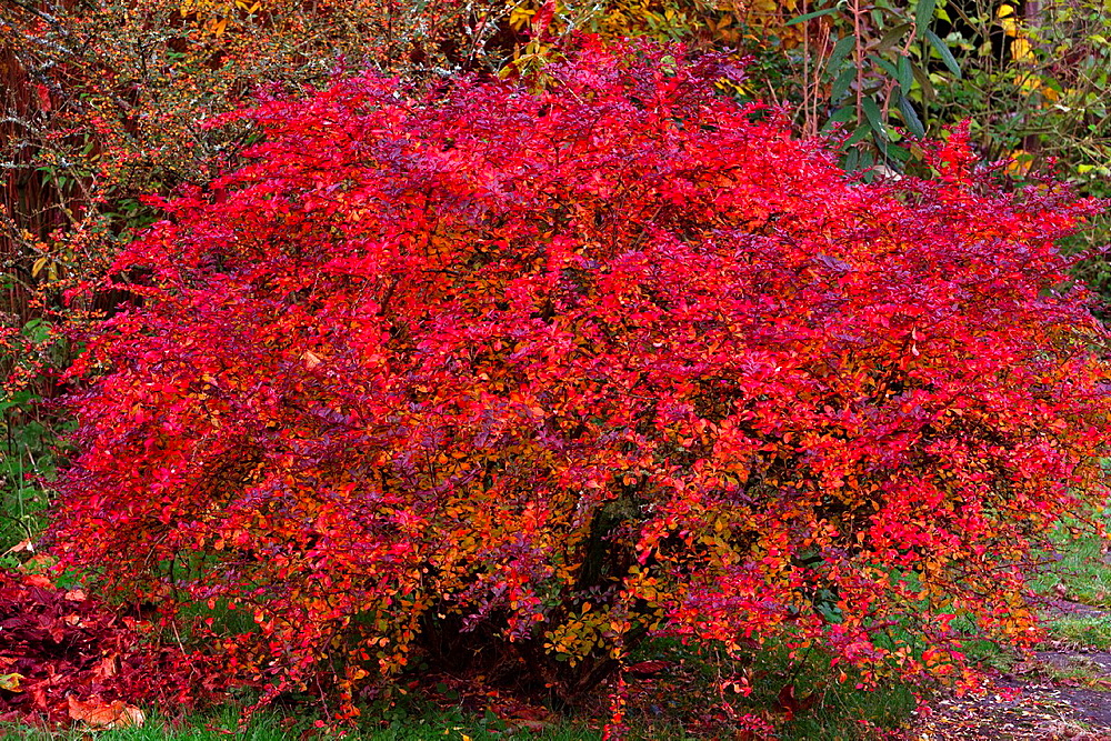 Beberis Bush Brberis pupureum, in full Autumn Colour, Lower Saxony, Germany