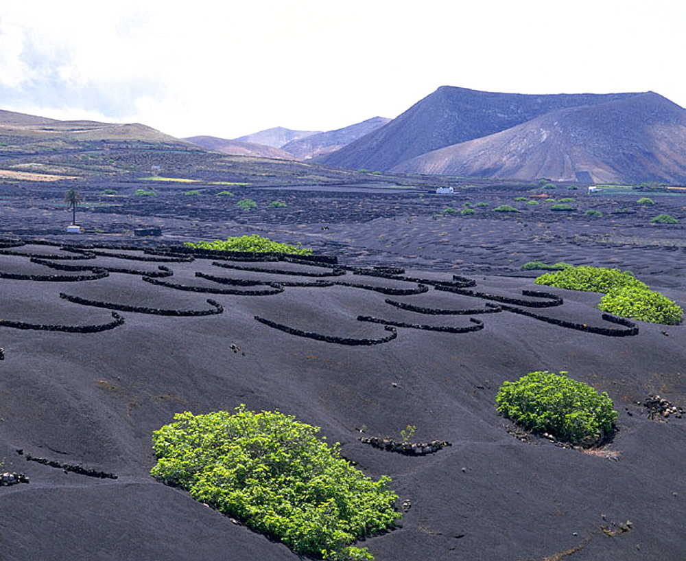 Vineyards on volcanic ashes, La Geria, Lanzarote, Canary Islands, Spain - 817-370
