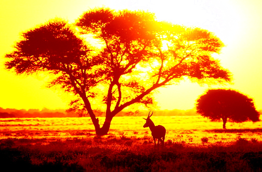 Antelope in sunset under thorn tree Central Kalahari Game Reserve Botswana