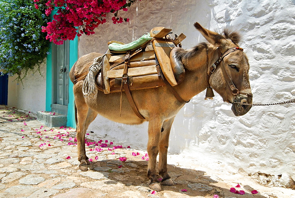Greek Island Donkey in Hydra Town, Hydra Island, Attica, Greece - 817-373182