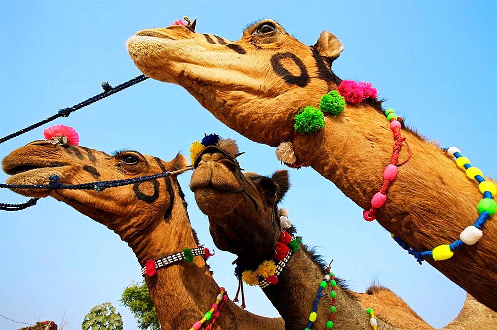 Pushkar camel fair, Pushkar, Rajasthan, India, Asia - 817-37406