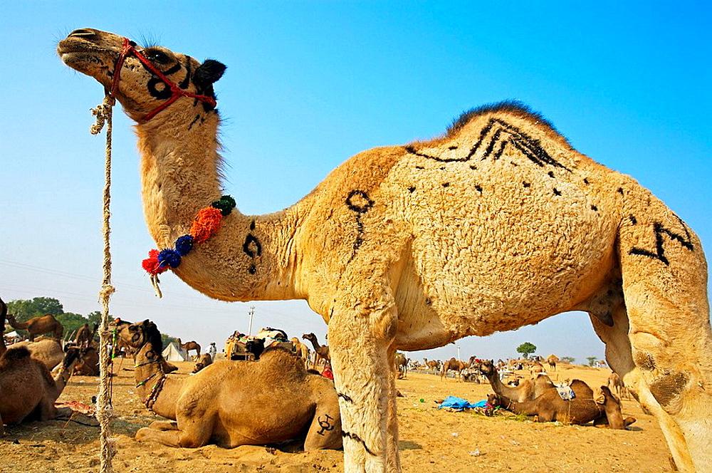 Pushkar camel fair, Pushkar, Rajasthan, India, Asia - 817-37414