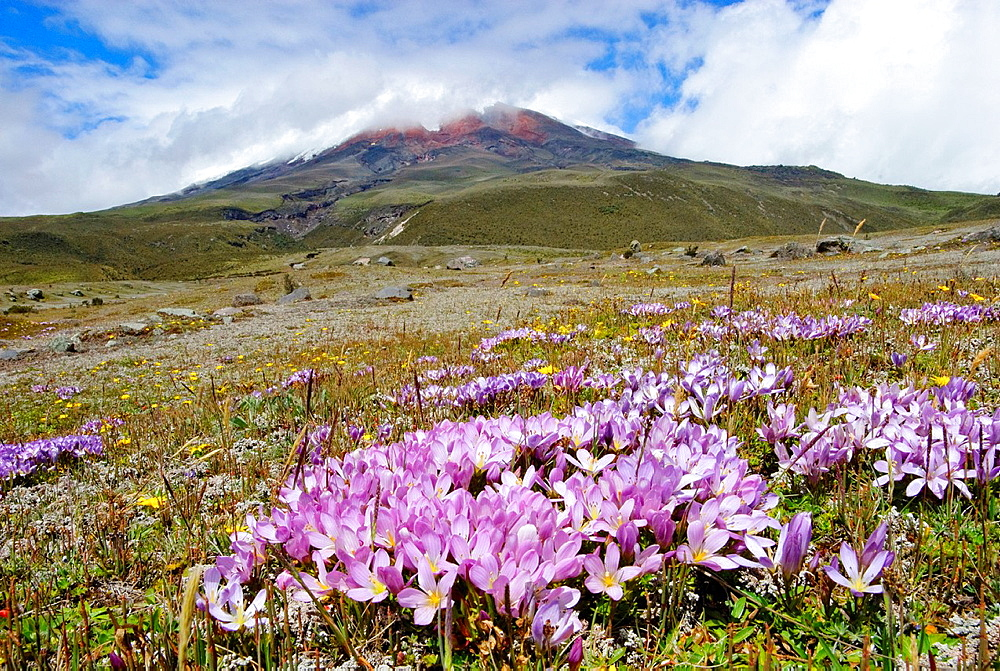 Gentian sp  on the lower slopes of Mt Cotopaxi, Cotopaxi National Park, Ecuador