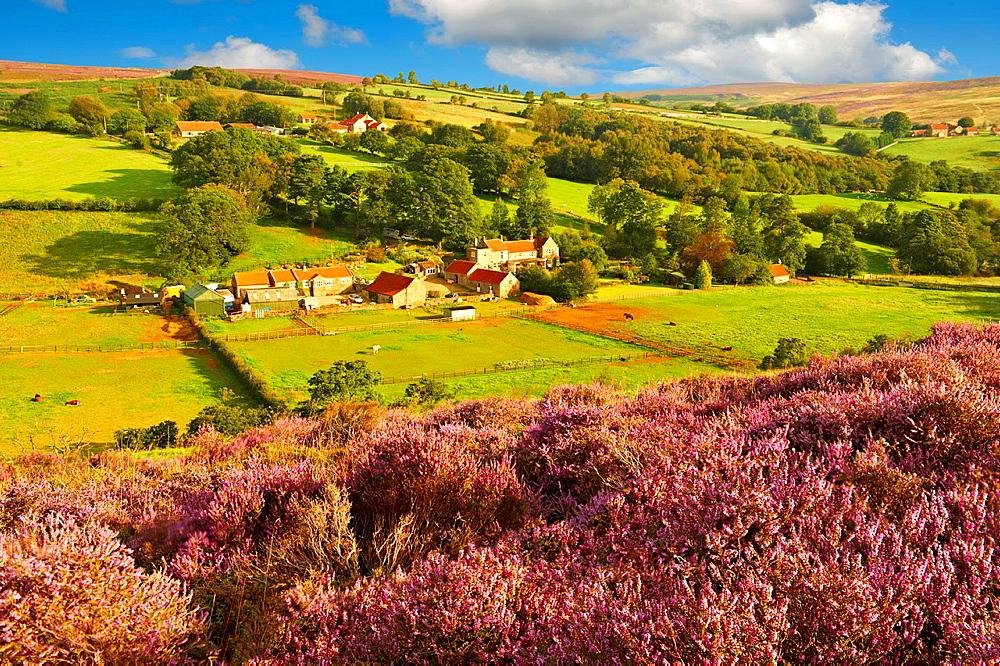 Heather blooming on the Eskdale valley moor  Castleton , Eskdale, North Yorks National Park, North Yorkshire, England