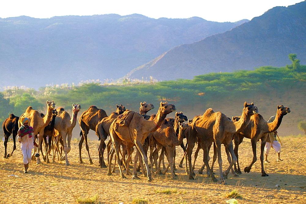 India Pushkar camel fair - 817-376208