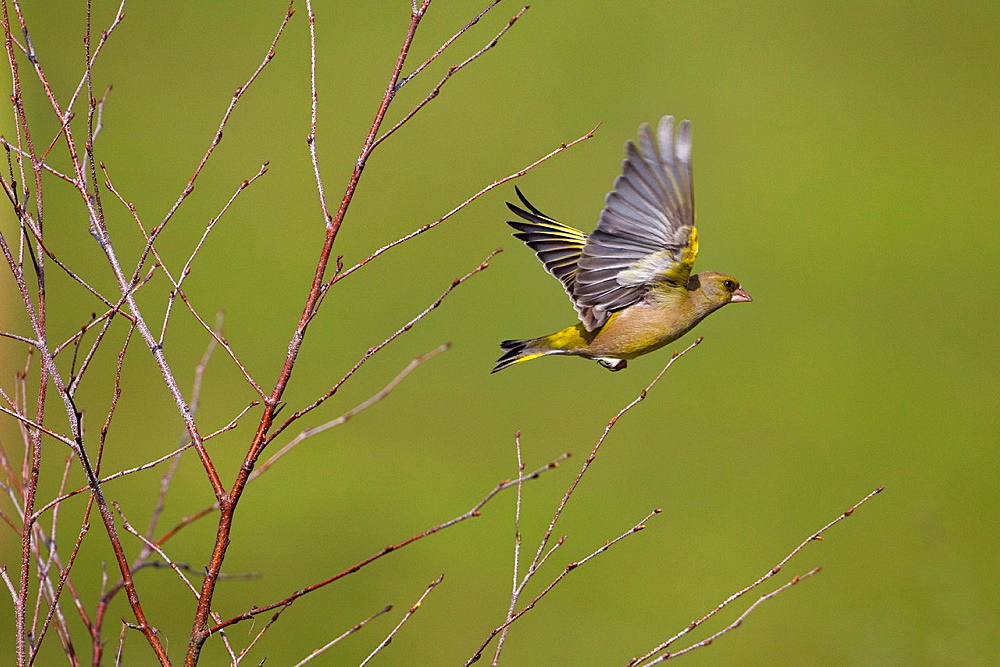 Greenfinch Carduelis chloris in flight from birch scrub