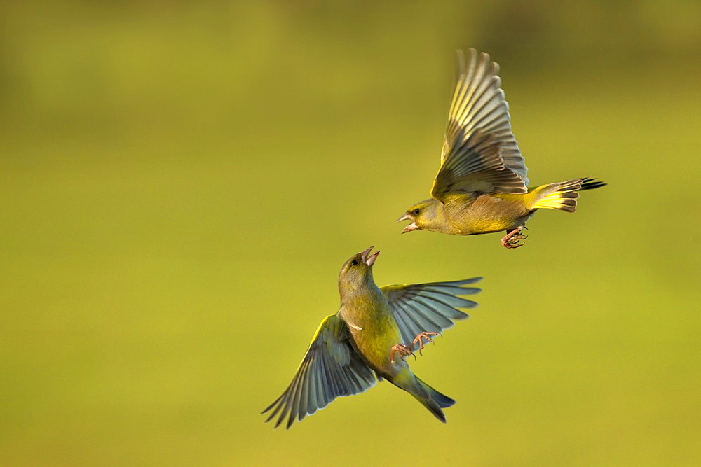 Greenfinches Carduelis chloris in flight