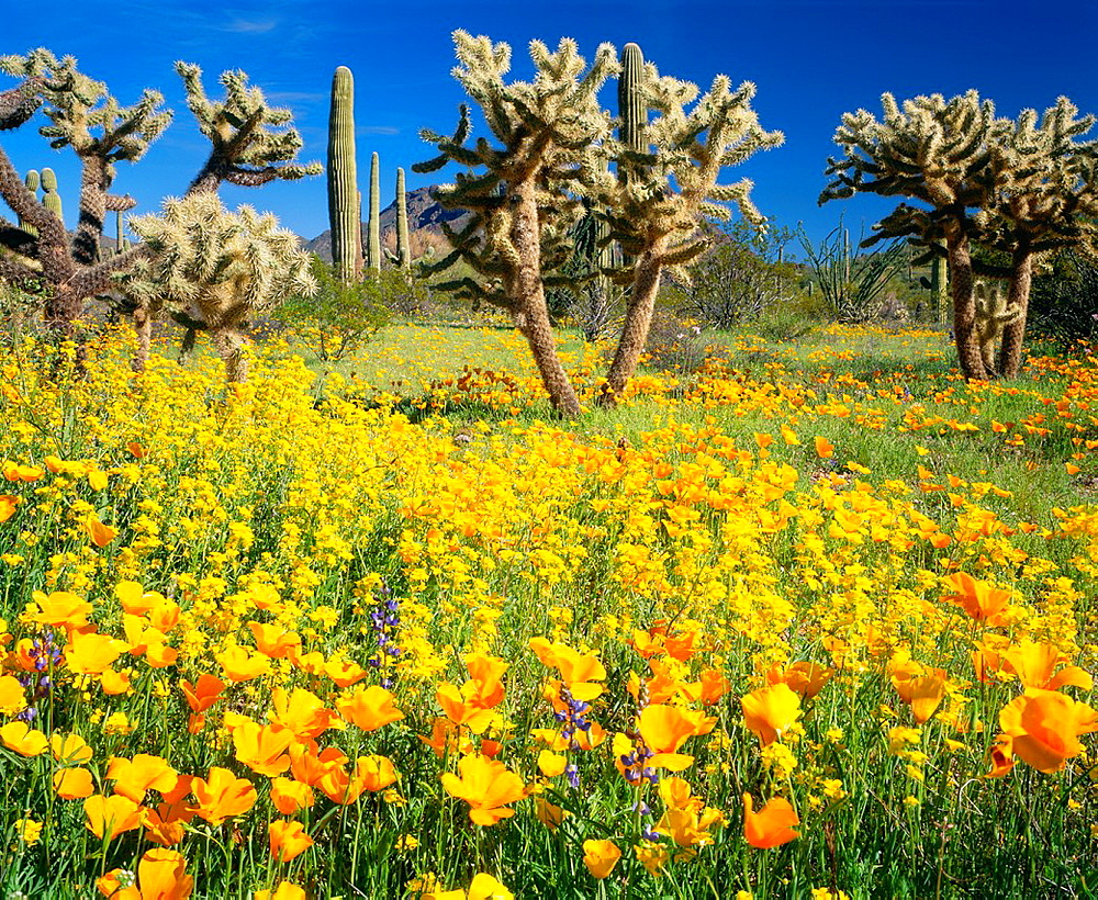 Spring bloom with Mexican gold poppies, cholla cactus and saguaro cactus Sonoran Desert Organ Pipe Cactus National Monument Arizona