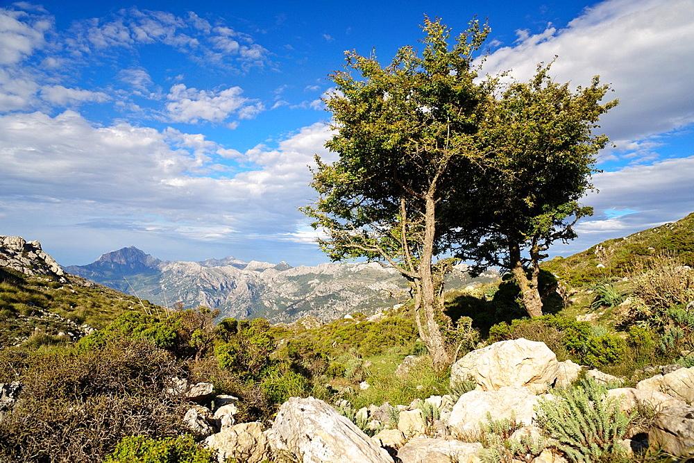 Yew, Taxus baccata, Puig des Teix, 1064 mts Sierra de Tramuntana, Majorca, Balearic Islands Spain