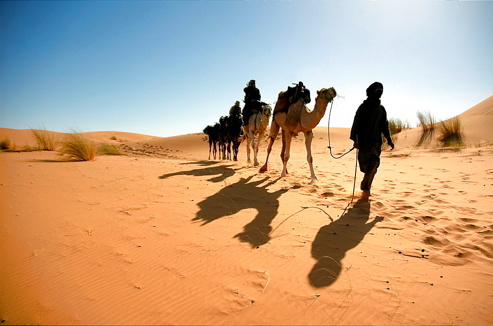 A camel caravan moving at the sand dunes of the Sahara Desert, Morocco
