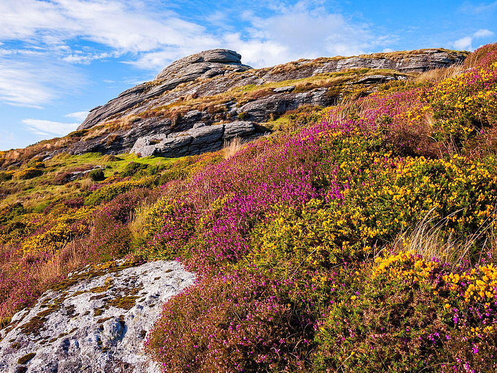 Heather and Gorse on the side of Haytor Rocks in Dartmoor National Park, Devon, England