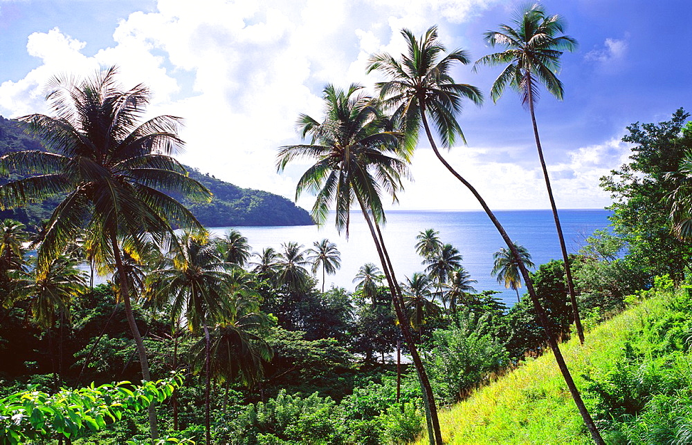 Coconut palm trees above remote King´s Bay Northeast coast of the island of Tobago Trinidad and Tobago