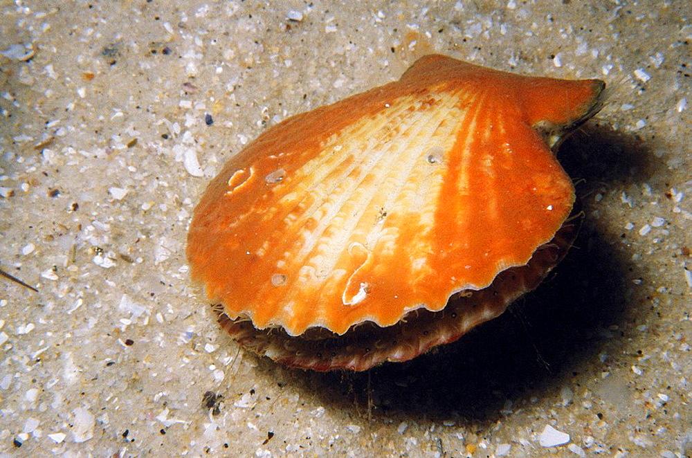 Queen Scallop (Chlamys opercularis), Ria of Vigo, Pontevedra province, Galicia, Spain