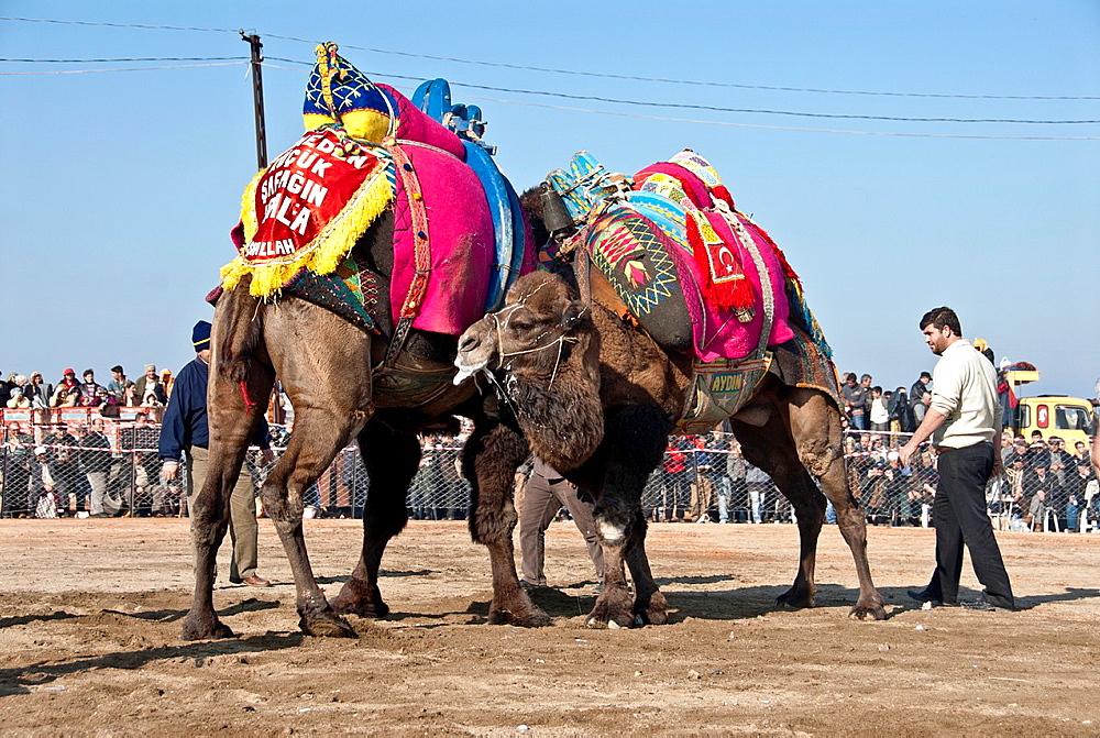Camel Wrestling, Izmir, Turkey