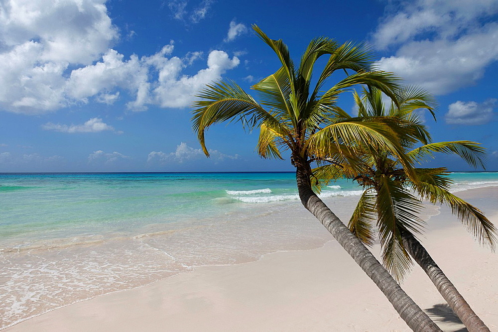 Palm trees growing on tropical beach. Leaning palms over white sand deserted beach in a tropical island