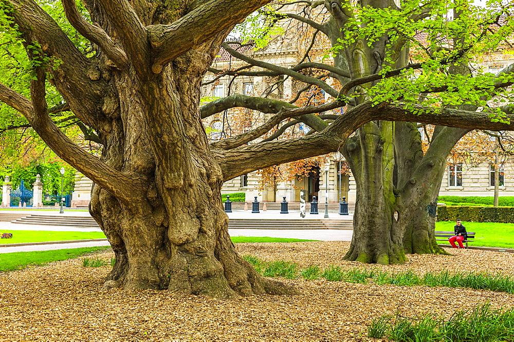 Gingko Biloba trees, Strasbourg, Alsace, France