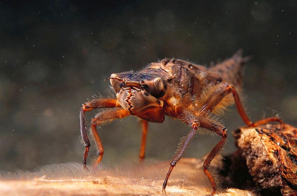 Freshwater, Rivers, Galicia, Spain, Arthropod, Aquatic insect, Dragonfly (Cordulegaster boltoni) - 817-40413